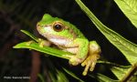 Plight of the Spotted Tree Frog