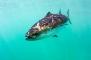 Cast off of first national survey of recreational SBT catch