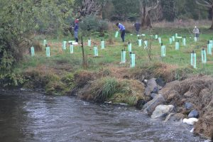 Ideas for Riparian Restoration in East Gippy