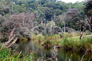 Planting Trees to Help Fish in the Curdies River