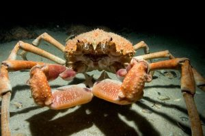 Spider Crab Bag Limit Consultation