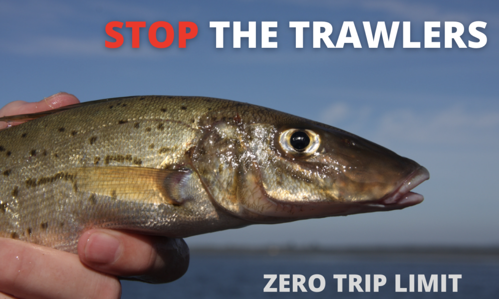 Stop the trawlers targeting spawning king george whiting